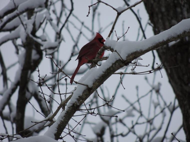 Redbird2